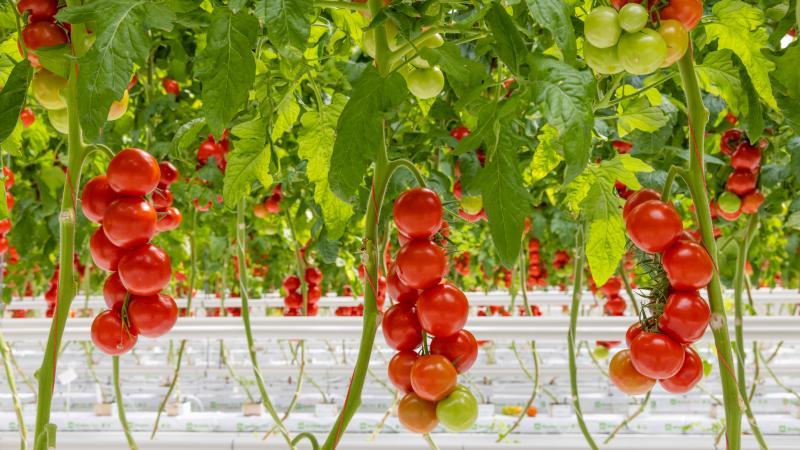 Tomaten aan de plant