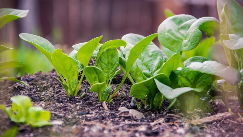spinazieplantjes